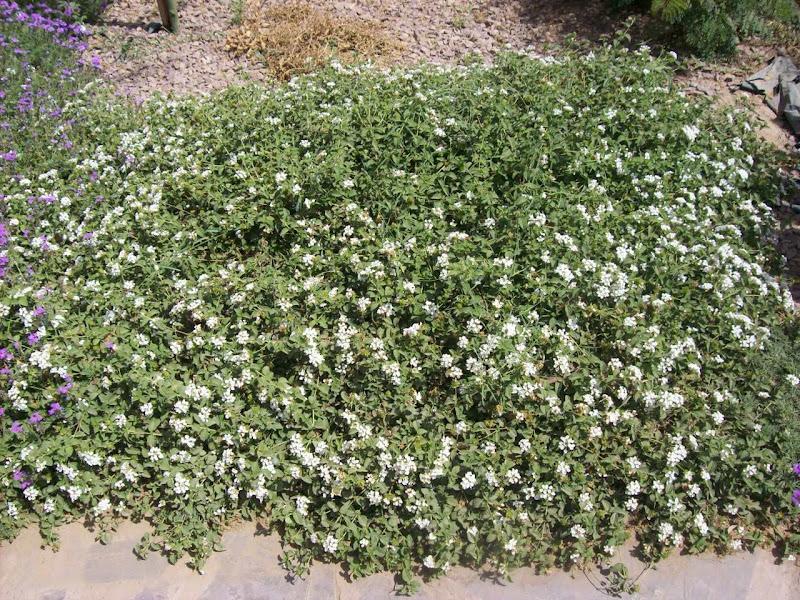 Potatura della lantana camara e montevidensis sellowiana for Lantana strisciante