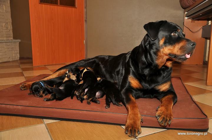 Suka szczenna rottweiler