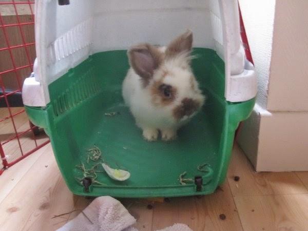 Shota, lapin blanc et marron-[adopté] Shota3-6412d