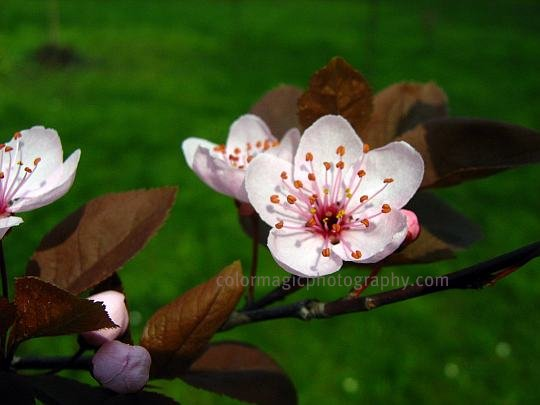 Flowering Cherry plum tree twig