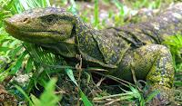 ερπετό,σαύρα,αρχικό γονίδιο.reptile,lizard,original gene