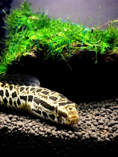 Snake Fish Aquarium : Snakehead Fish Aquarium I did cleaning my fish tank