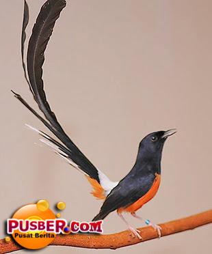 Jenis Burung Murai Batu Medan