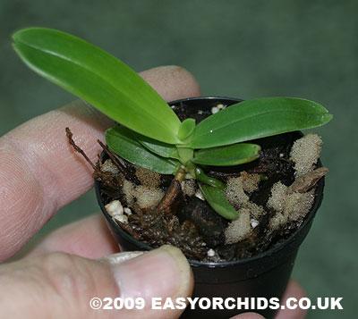 Растения из Тюмени. Краткий обзор Aerangis-cryptodon