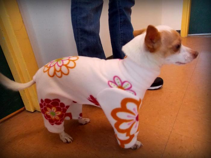 tiny 6-lb chihuahua standing in profile, wearing white fleece pajamas with large retro floral print