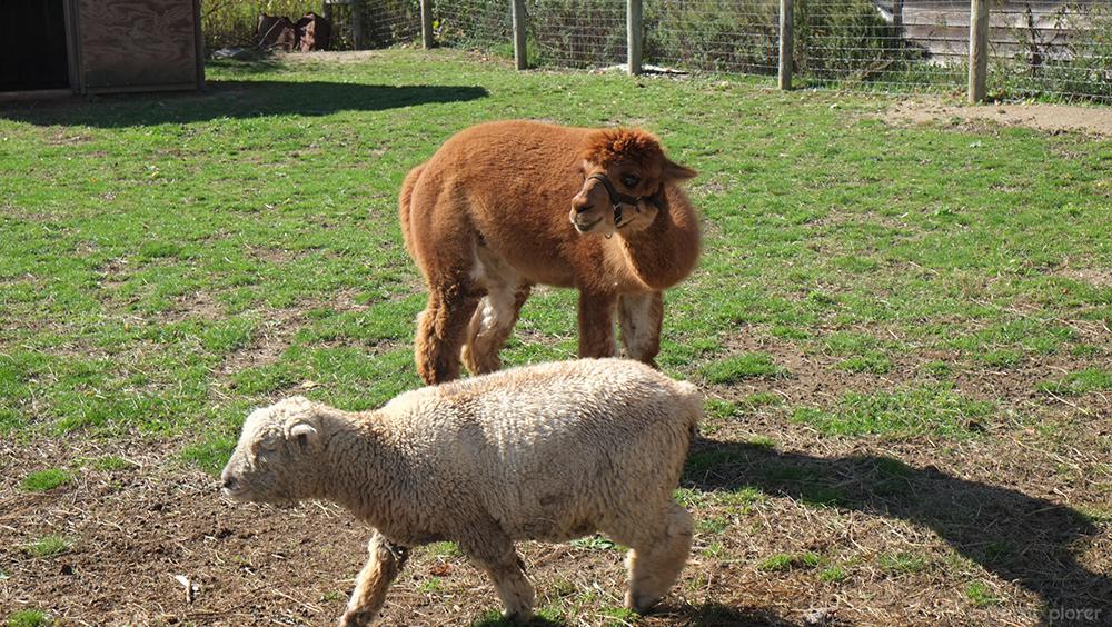 Jasons Vineyard Llama Sheep