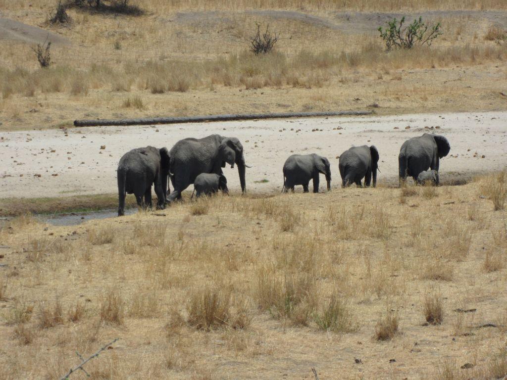 Tarangire'de fil ailesi