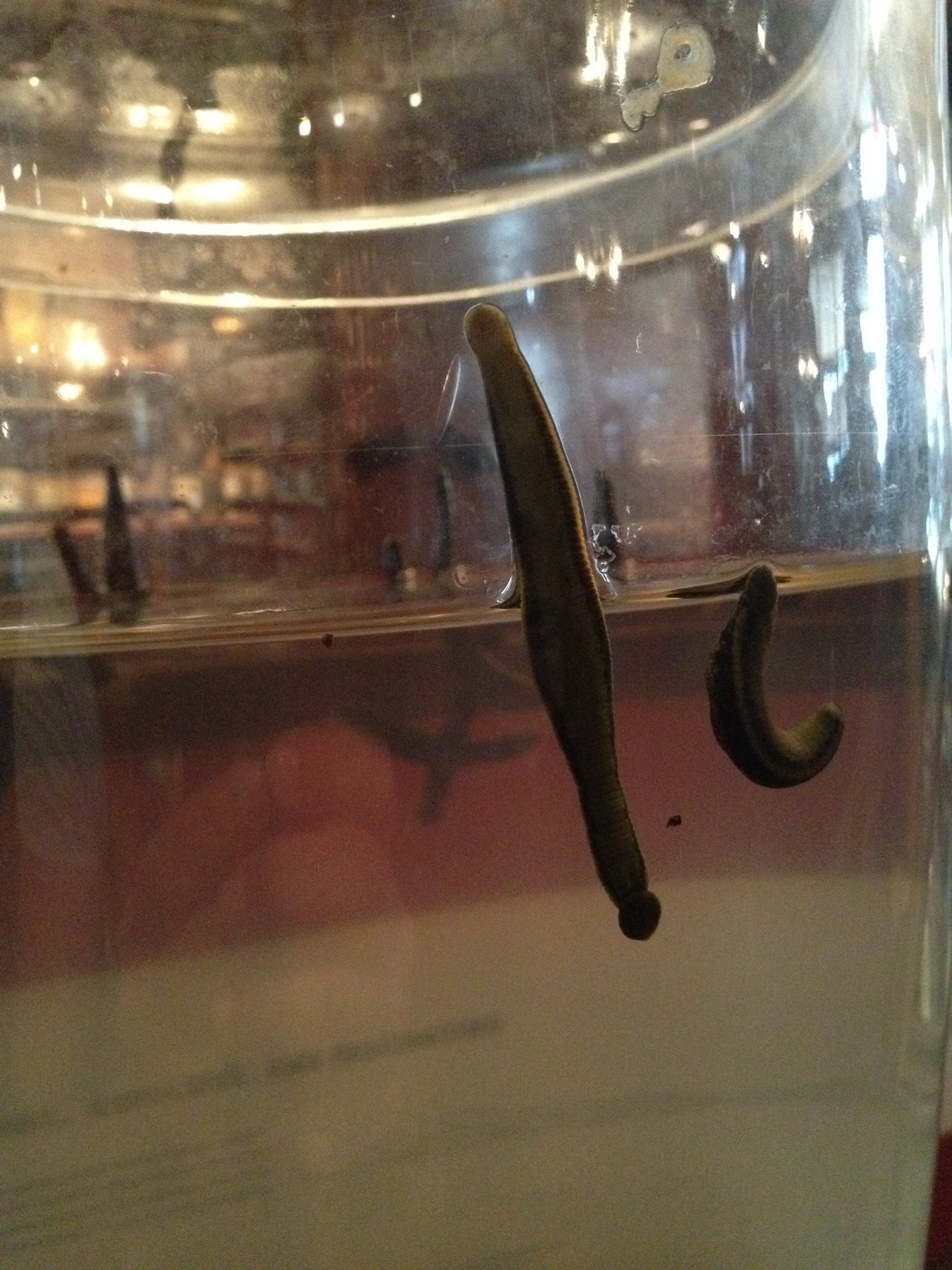 A glass jar of leeches