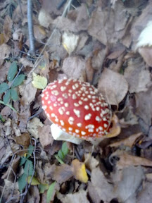 The fairytale Fly Agaric mushroom