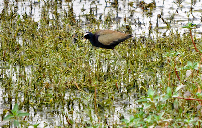 27-Aug-2011 Bronze-winged Jacana