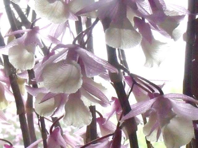 Dendrobium pierardii Dendrobium_pierardii%2520%25284%2529