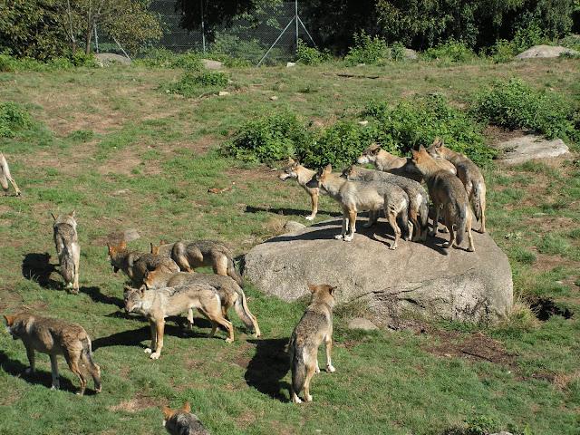 Les Loups de Chabrière PICT0516