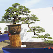 20 Juniperus chinensis.JPG