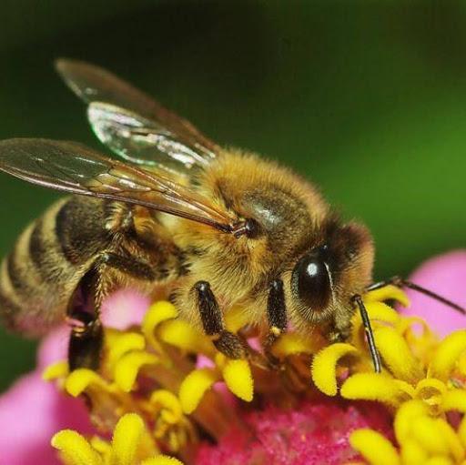 Жена Пчеловода