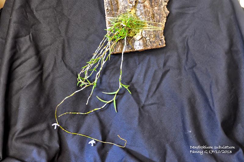 Dendrobium subulatum DSC_0004