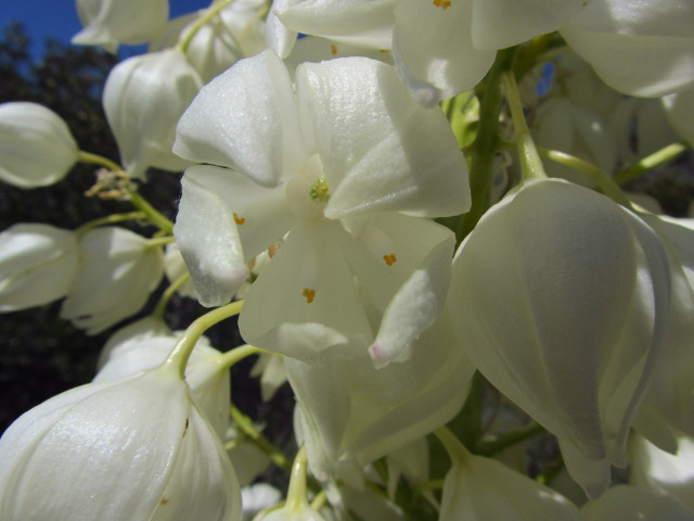 yucca flowers close up