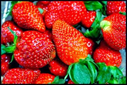 dau tay moc chau+%25284%2529 Dâu tây Mộc Châu sản vật mới của xứ sở những trái ngon
