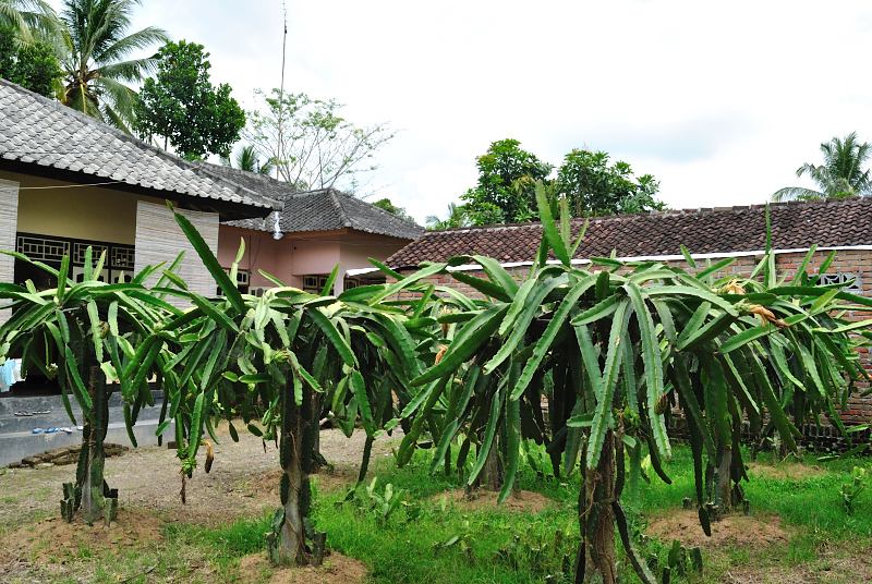 Budi Daya Buah Naga Lombok Tengah