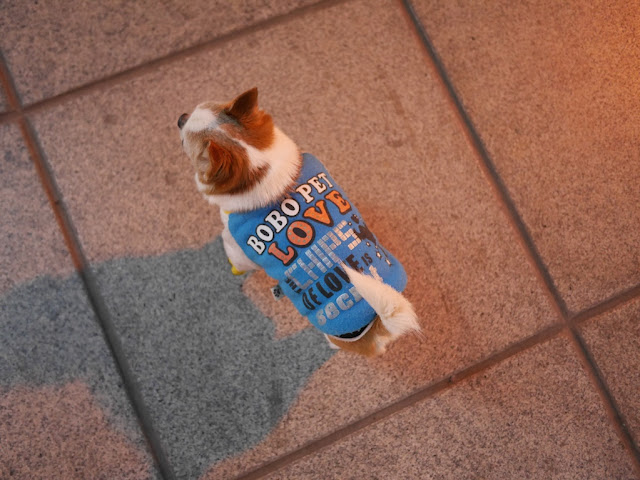 "dog wearing clothing with the words ""BOBO PET LOVE THE CHIPS OF LOVE IS secret"""