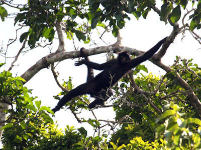 Spider monkey by Lake Sandoval in Tambopata Peru