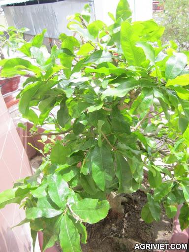 Agriviet.Com-IMG_0008.JPG