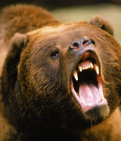 Urso pardo vs Urso polar 26