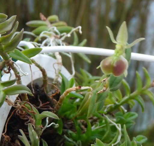 Epidendrum porpax P1370230