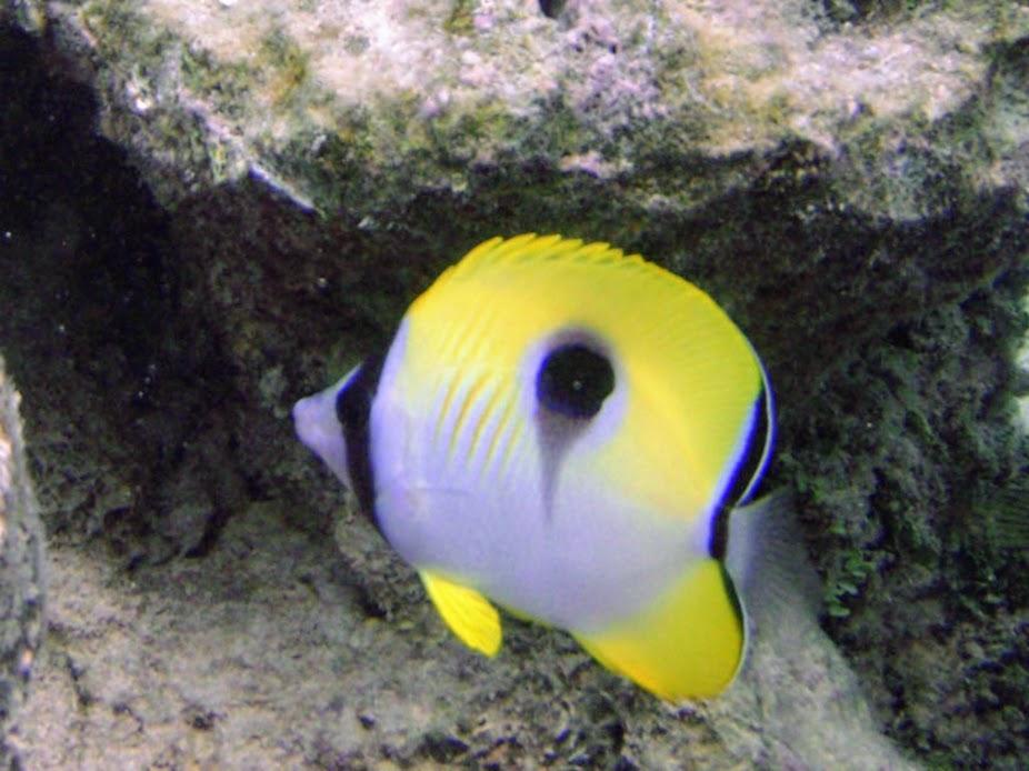 Chaetodon unimaculatus (Teardrop Butterflyfish), Rarotonga.