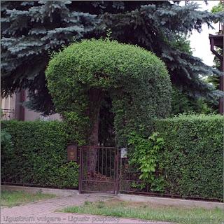Ligustrum vulgare - Ligustr pospolity przykład zastosowania