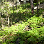 Ferns covering bush floor (6154)