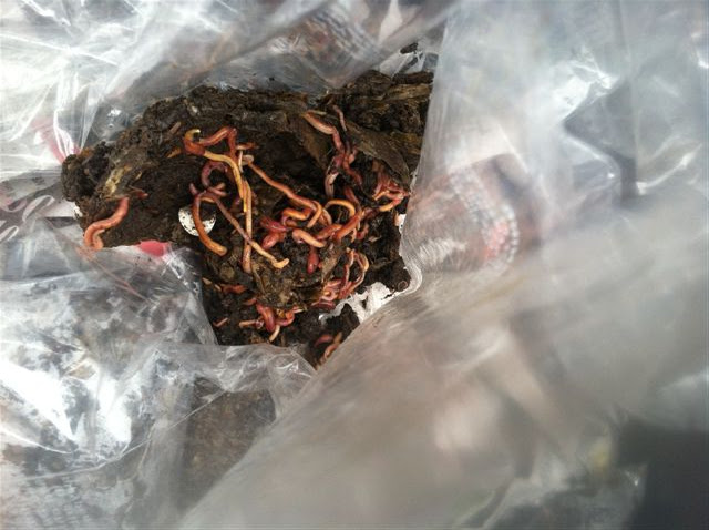 Red wiggler worms for your worm bin or fishing uw for Red worms for fishing