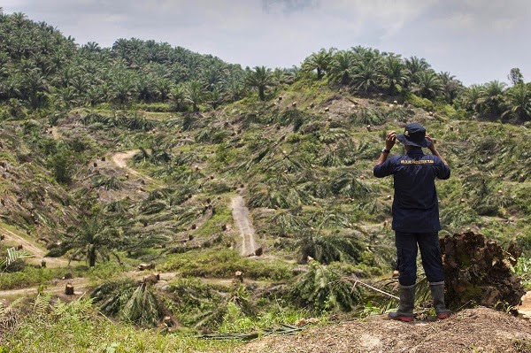 Slain activist Jopi Peranginangin surveys an illegal oil palm plantation whose trees have been uprooted in Aceh as part of a local government campaign earlier this year. Photo: Chaideer Mahyuddin/AFP