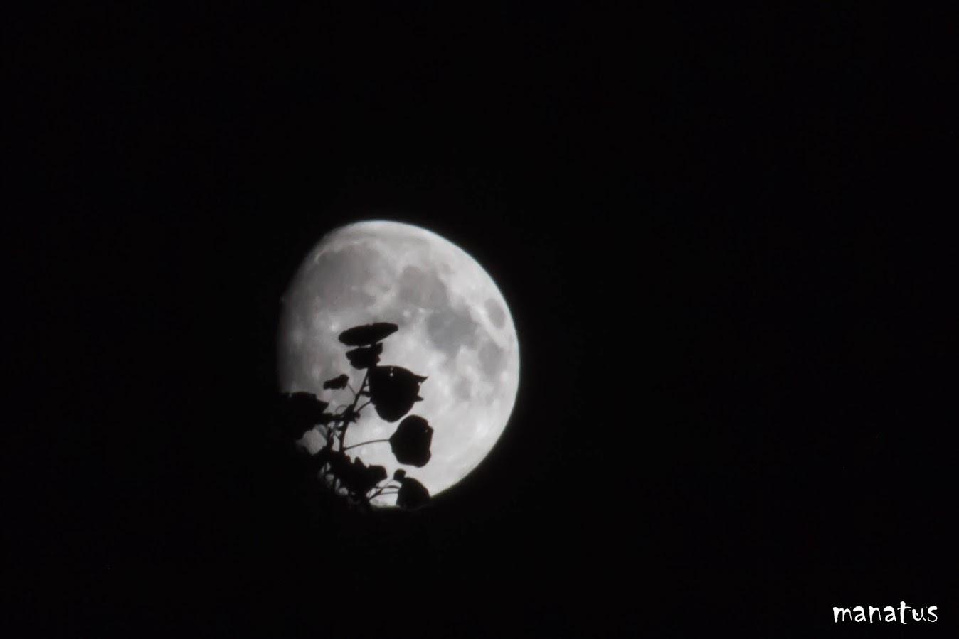 manatus luna hojas