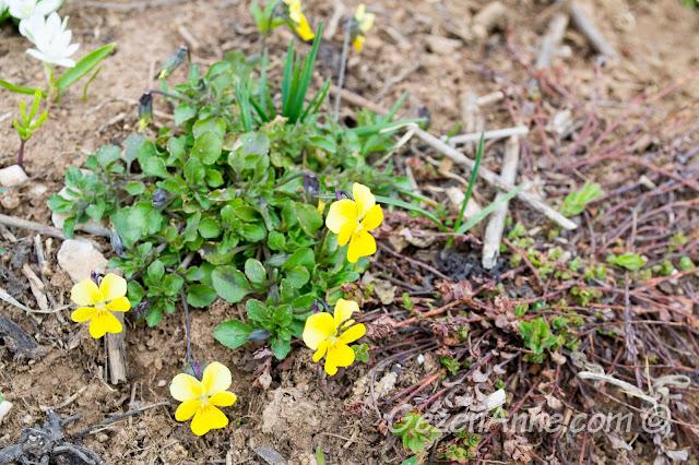 sarı, mor menekşeler, kır çiçekleri, Kartepe