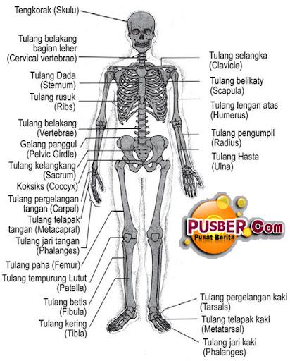 Fungsi dan Struktur Susunan Rangka Manusia, rangka tubuh manusia dan fungsinya