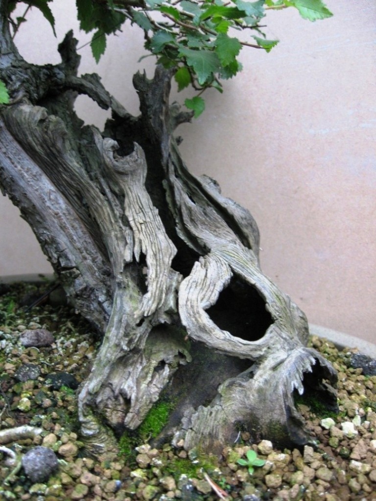 Wildwoodbonsai Development Of An English Elm