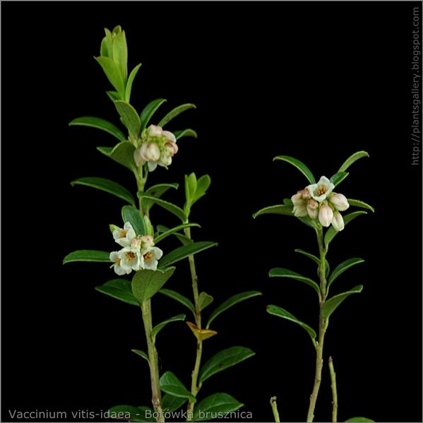 Vaccinium vitis-idaea - Borówka brusznica