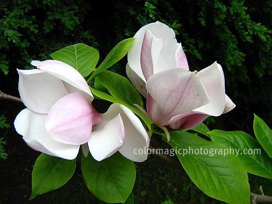 Saucer Magnolia buds unfolding-Magnolia soulangiana