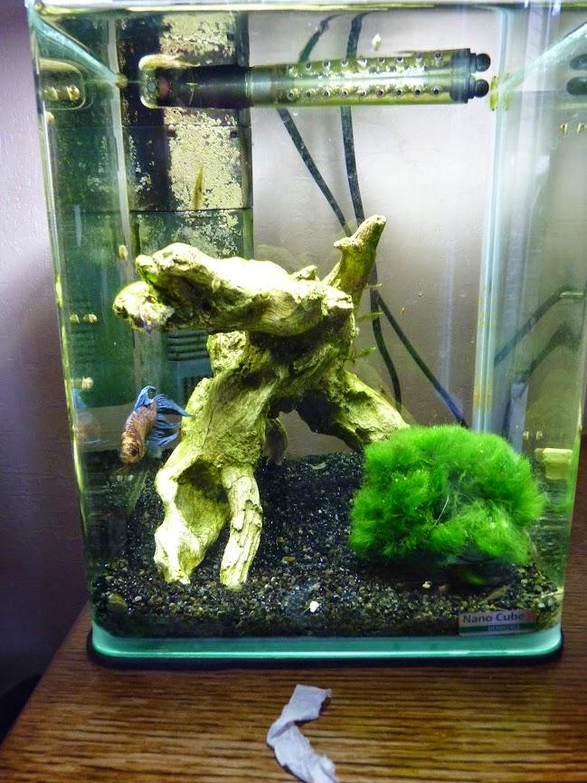 Ma petit histoire Aquariophile de 2009 à aujourd'hui  P1060139