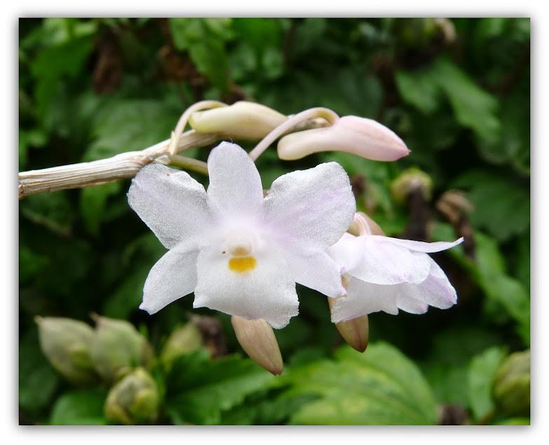 Dendrobium mutabile P1420984