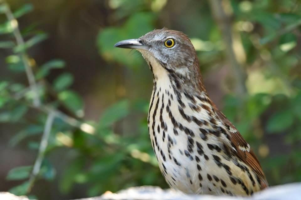 Brown Thrasher - Region 6 - Texas Bird Image Archive