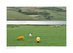 Orange sheeps