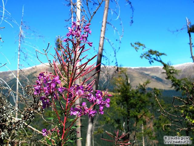 flori roz de munte toamna: zburatoare