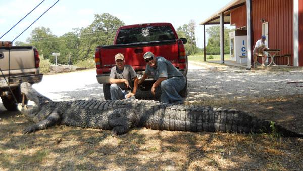Questões e Fatos sobre Crocodilianos gigantes: Transferência de debate da comunidade Conflitos Selvagens.  - Página 2 Alligator4_sp