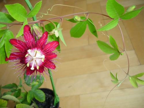 Blog Post 156 Passionflower