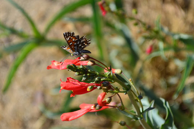 ragged butterfly on red flowers
