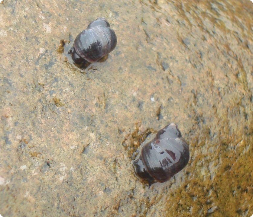 Морские улитки – литорины.