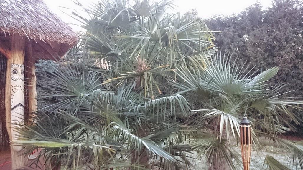 palmen in polen seite 1 winterharte palmen. Black Bedroom Furniture Sets. Home Design Ideas