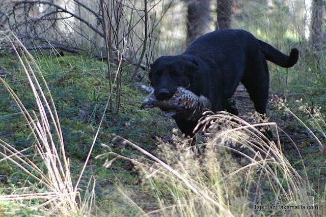 labradorinnoutaja metsäkanalintujahti