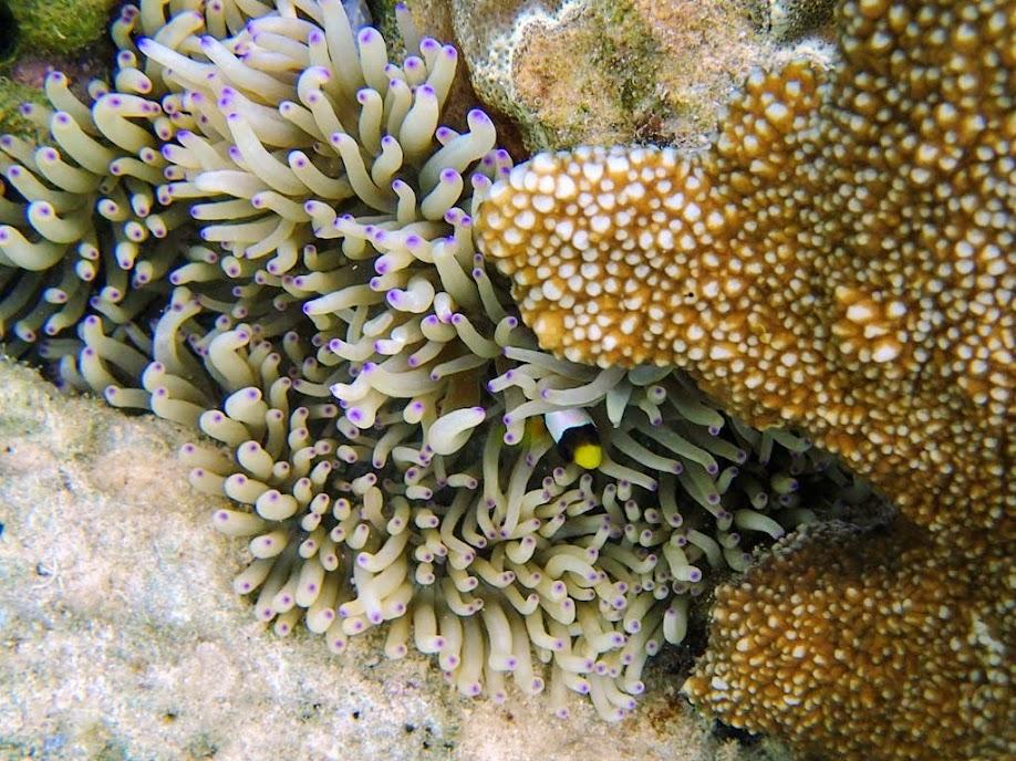Heteractis crispa (Sebae Anemone) and Amphiprion clarkii (Clark's Clownfish), Chindonan Island, Palawan, Philippines.